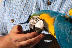 Alimentazione del pappagallo da una mano Fotografie Stock Libere da Diritti