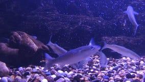 Alimentazione del pesce dal fondo Molti piccoli pesci Il pesce nuota davanti alla macchina fotografica stock footage