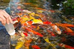 Alimentazione del pesce dall'allattare con il biberon il bambino Immagini Stock