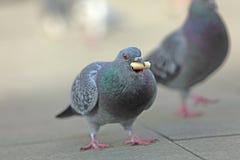 Alimentazione del piccione fotografie stock