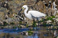 Alimentazione del piccolo egret fotografia stock