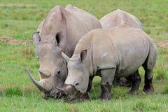 Alimentazione del rinoceronte bianco Fotografie Stock Libere da Diritti