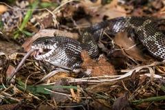 Alimentazione del serpente di ratto nero Immagine Stock
