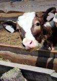 Alimentazione del vitello Fotografia Stock Libera da Diritti