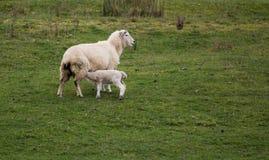 Alimentazione dell'agnello Fotografia Stock Libera da Diritti