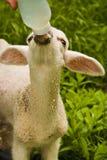 Alimentazione dell'agnello Immagini Stock