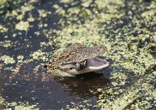 Alimentazione dell'alligatore americano del bambino Fotografia Stock Libera da Diritti