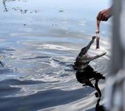 Alimentazione dell'alligatore durante un giro in barca della palude dei rami paludosi di fiume fuori di New Orleans in Luisiana U Fotografia Stock