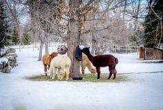 Alimentazione dell'alpaca Immagine Stock