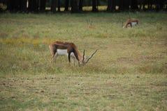 Alimentazione dell'antilope di Blackbuck (cervicapra del antilope) Immagine Stock Libera da Diritti