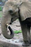 Alimentazione dell'elefante Immagini Stock