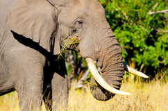 Alimentazione dell'elefante africano. Parco nazionale di Kruger, Sudafrica immagine stock
