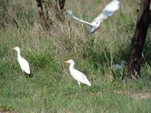 Alimentazione dell'ibis immagini stock libere da diritti