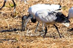 Alimentazione dell'ibis sacro dell'Africano Fotografie Stock