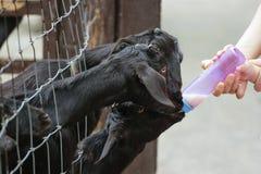 Alimentazione della capra Fotografie Stock