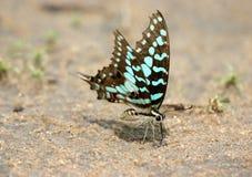 Alimentazione della farfalla Fotografia Stock