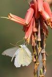 Alimentazione della farfalla Immagini Stock