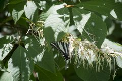 Alimentazione della farfalla di coda di rondine della zebra fotografia stock