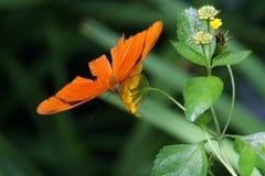 Alimentazione della farfalla di Julia Fotografie Stock Libere da Diritti