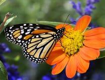 Alimentazione della farfalla di monarca di profilo Immagine Stock