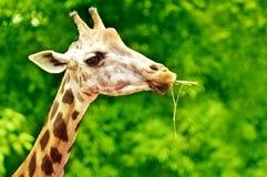 Alimentazione della giraffa Fotografie Stock Libere da Diritti