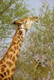 Alimentazione della giraffa Immagini Stock