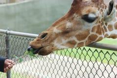 Alimentazione della giraffa Immagini Stock Libere da Diritti