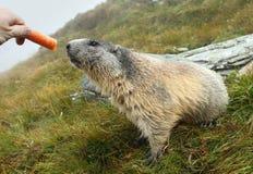 Alimentazione della marmotta Fotografie Stock Libere da Diritti