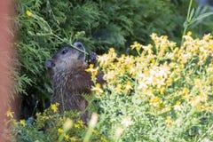 Alimentazione della marmotta Fotografia Stock Libera da Diritti