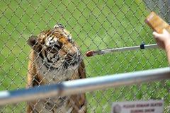 Alimentazione della tigre Fotografia Stock Libera da Diritti
