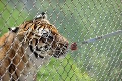 Alimentazione della tigre Immagine Stock