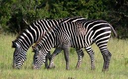 Alimentazione della zebra Fotografia Stock Libera da Diritti