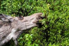 Alimentazione delle alci della mucca Fotografie Stock Libere da Diritti