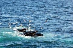 Alimentazione delle balene di Humpback Fotografie Stock Libere da Diritti