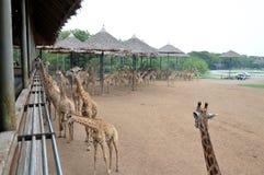Alimentazione delle giraffe Fotografia Stock