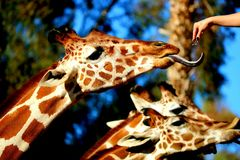 Alimentazione delle giraffe Immagine Stock Libera da Diritti