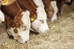 Alimentazione delle mucche del simmental immagine stock libera da diritti