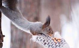 Alimentazione dello scoiattolo fotografia stock libera da diritti