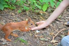 Alimentazione dello scoiattolo Fotografia Stock