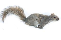 Alimentazione dello scoiattolo isolata fotografia stock