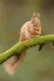Alimentazione dello scoiattolo rosso Fotografia Stock