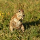Alimentazione dello scoiattolo a terra immagine stock