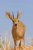 Alimentazione dello Steenbok Fotografie Stock Libere da Diritti