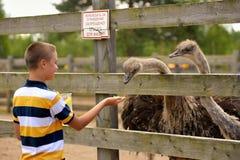 Alimentazione dello struzzo su un'azienda agricola di estate Immagine Stock Libera da Diritti