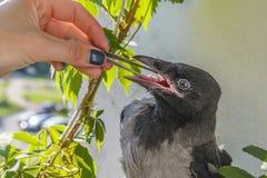 Alimentazione di del pollame il piccolo corvo mangia con i pezzi delle pinzette di carne il concetto di preoccuparsi per gli ucce immagine stock