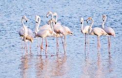 Alimentazione di Lesser Flamingos fotografie stock