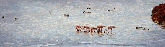 Alimentazione di Lesser Flamingos immagine stock