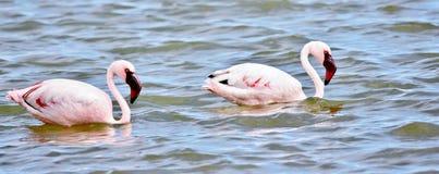 Alimentazione di Lesser Flamingos immagini stock libere da diritti