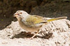 Alimentazione di Olive Sparrow Fotografia Stock Libera da Diritti