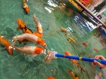 Alimentazione di pesci della carpa con la bottiglia lattea fotografia stock